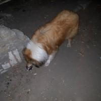 Пропала собака, окрас бело-рыжий