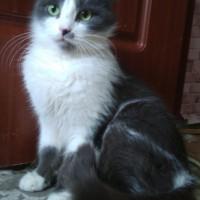 В добрые руки, кошка, окрас бело-серый