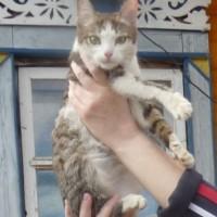 В добрые руки, кот, окрас серо-белый