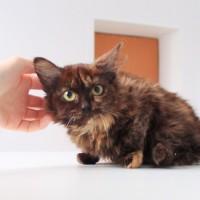 В добрые руки, кошка, окрас трехцветный