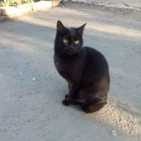 Найдена кошечка, окрас черный