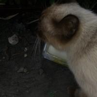Найдена кошка, порода сиамская