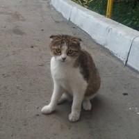 Найдена кошка, окрас бело-серый
