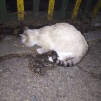 Найден кот,  окрас светлый, темная мордочка