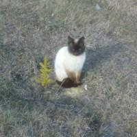 Пропал кот, порода сиамский, окрас черно-белый