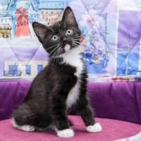 В добрые руки котенок окрас чёрно-белый