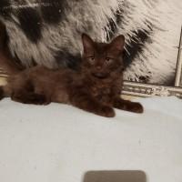 Найден котенок, окрас шоколадный