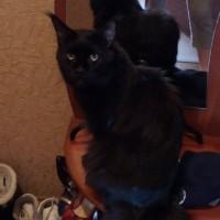 Пропал кот, порода мейн кун, окрас чёрный