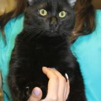 В добрые руки кошка цвет черный