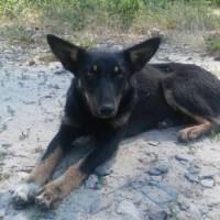 Пропала собака, окрас черно-рыжий