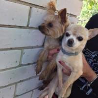Найдены собаки, порода чихуахуа