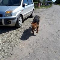 Найдена собака , окрас черно-коричневый