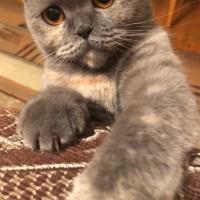Пропала кошка цвет серый