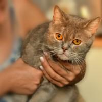 Кошечка-британка ищет дом