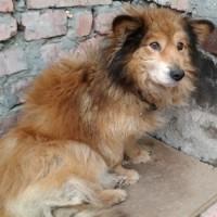 Пропала собака, окрас рыжий, темные уши