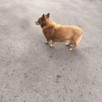 Найдена собака, окрас рыжий
